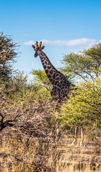 Giraffe at Chobe National Park, Botswana, Africa