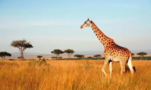 Giraffe walking through the grasslands, Masai Mara, Kenya