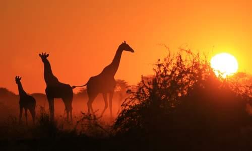 Giraffes at sunset in Kenya