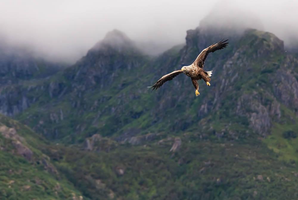Sea eagle, Lofoten Islands