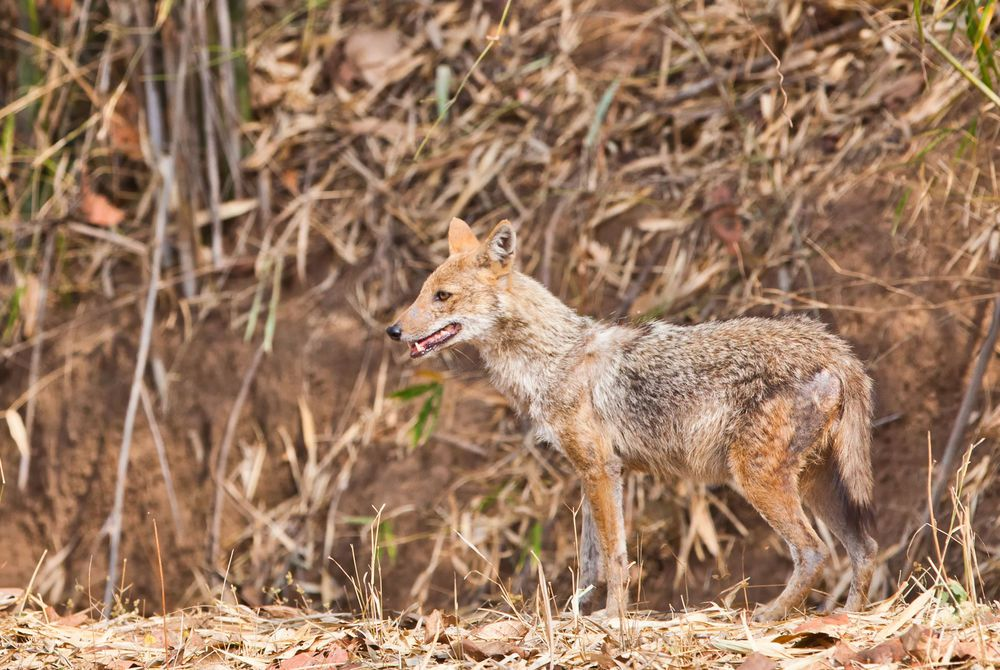 Golden Jackal, Bandhavgarh National Park, India