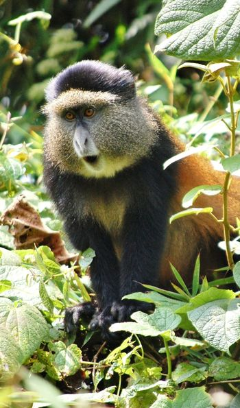 Golden monkey in Nyungwe Forest