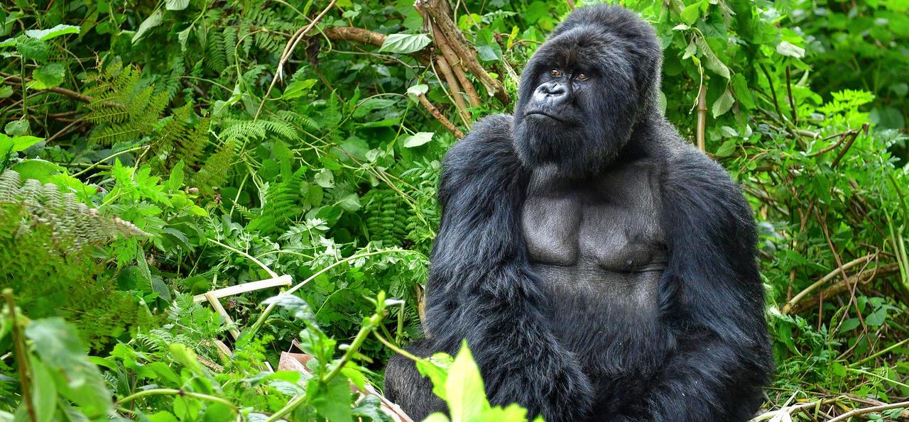 Rwanda: A Mountain Gorilla Adventure