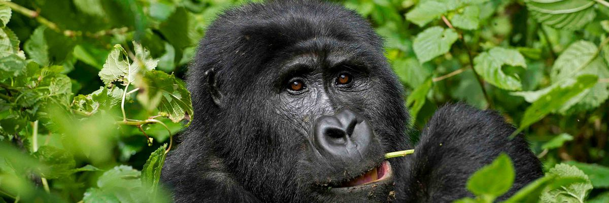 Gorilla, Bwindi Forest