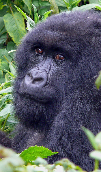 Silverback among the greenery of Rwanda's Volcanoes National Park