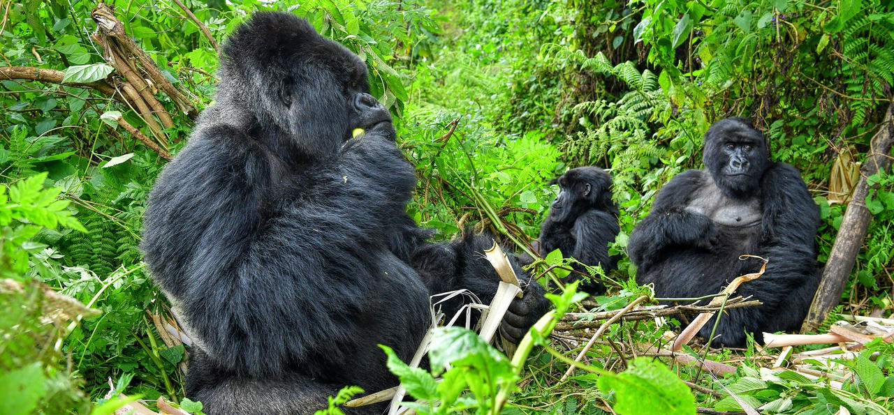 Gorilla family in the jungles of Rwanda