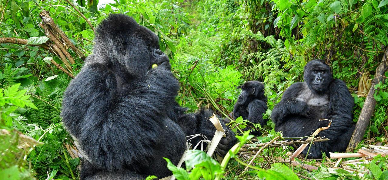 Gorilla family, Rwanda