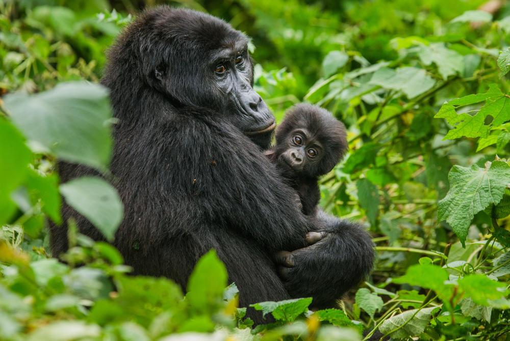 Gorillas cuddling in Rwanda