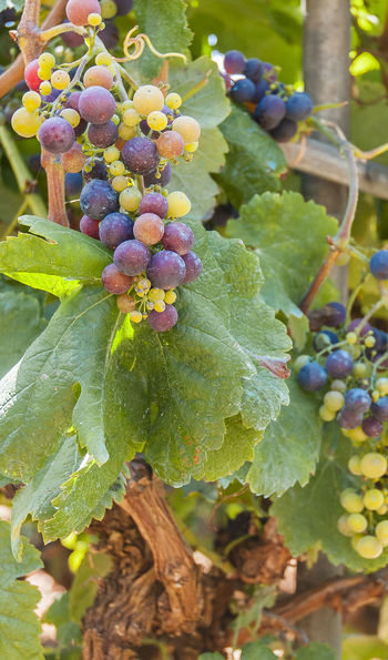 Grapes, Tenerife
