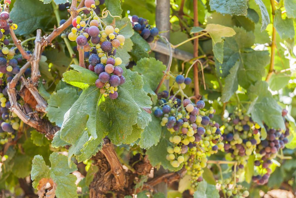 Vineyard grapes, Tenerife
