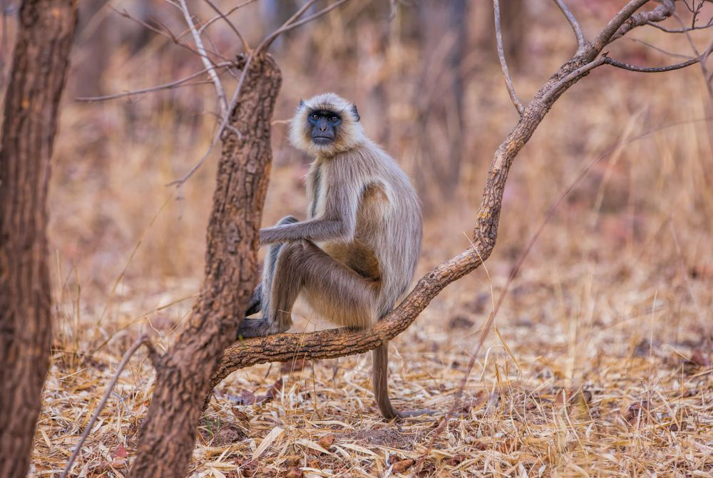 Grey Langur Monkey, Bandhavgarh National Park, India