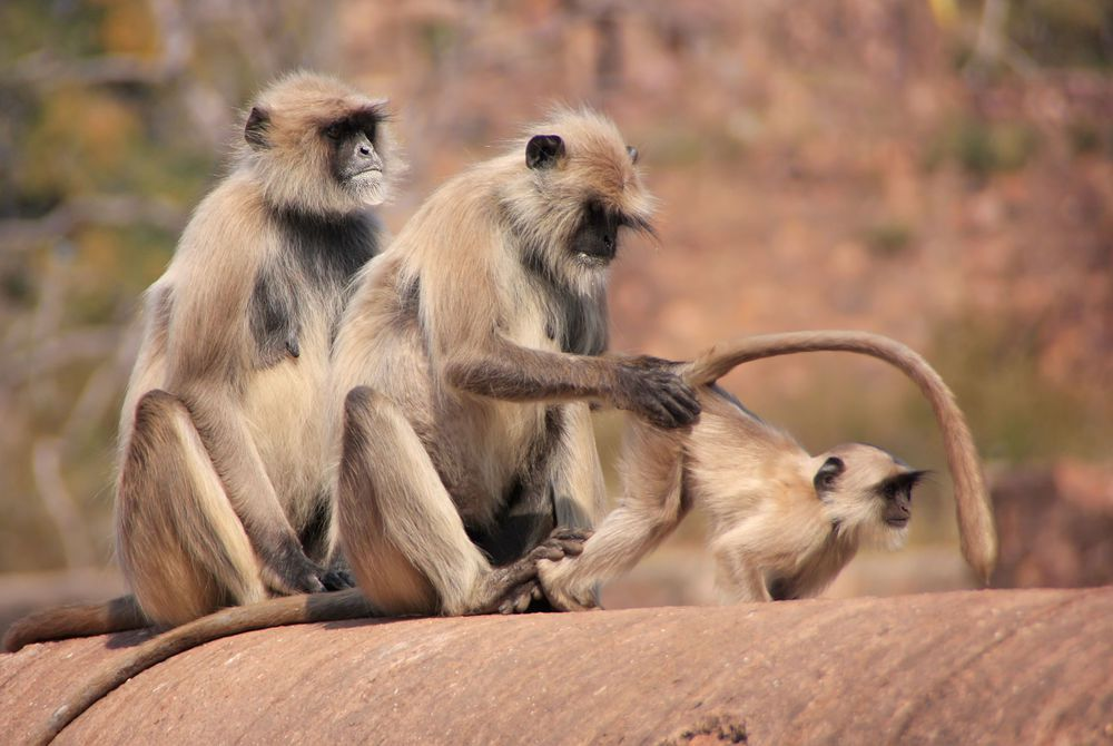 Gray langurs, Ranthambore Fort, Rajasthan, India