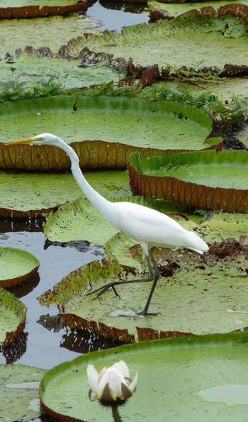 Great egret in search of food between the Victoria regia plants in the Amazon