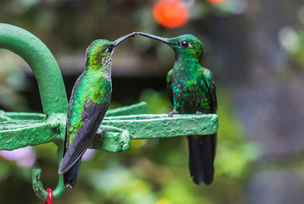 Green hummingbirds, Monteverde