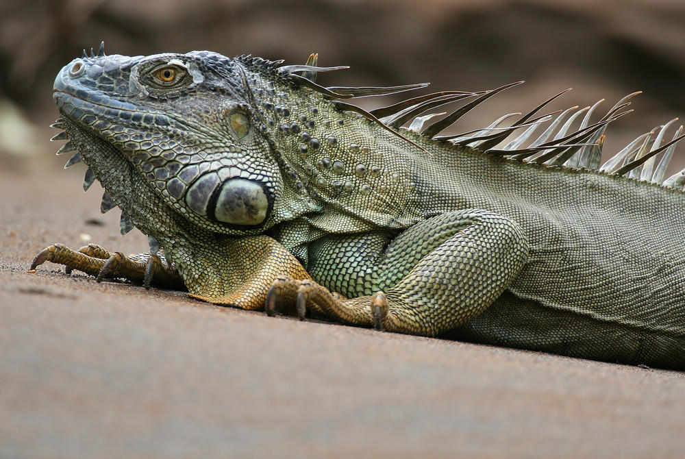 Green iguana on a beach by Sarapiqui River