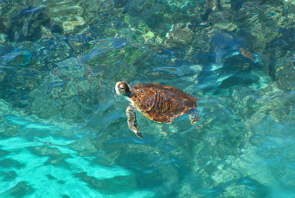 Sea Turtle, Ras Al Jinz