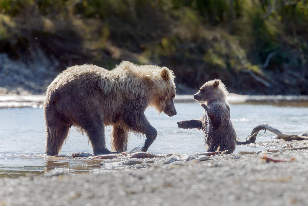 Grizzly bear and baby in Canada