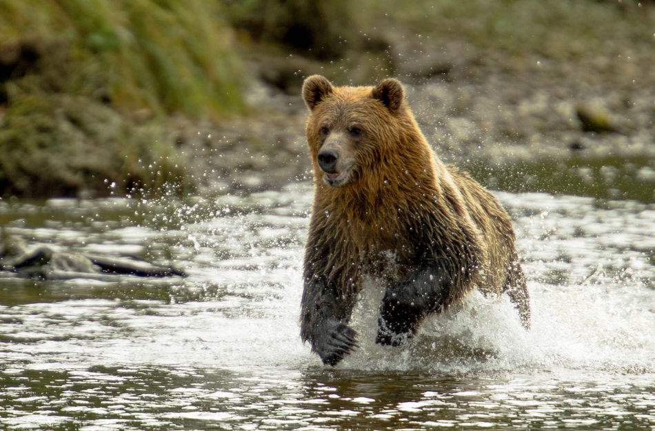 Grizzly Bear in Knight Inlet, British Columbia