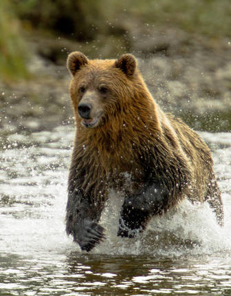 Grizzly bear in Knight Inlet