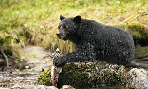 Black bear, Great Bear Rainforest