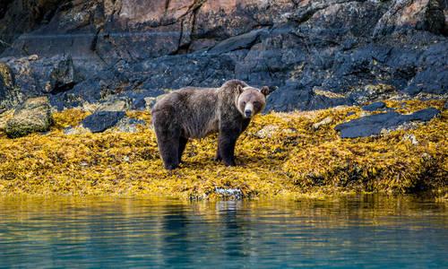 Grizzly bear, Great Bear Rainforest