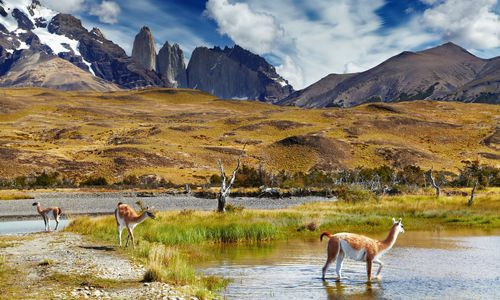 Guanacos, Torres del Paines National Park, Chile