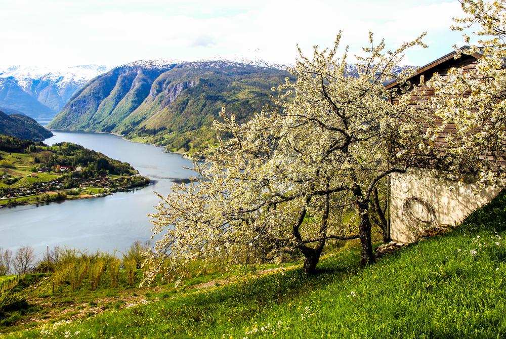 Blossom season at Hardangerfjord