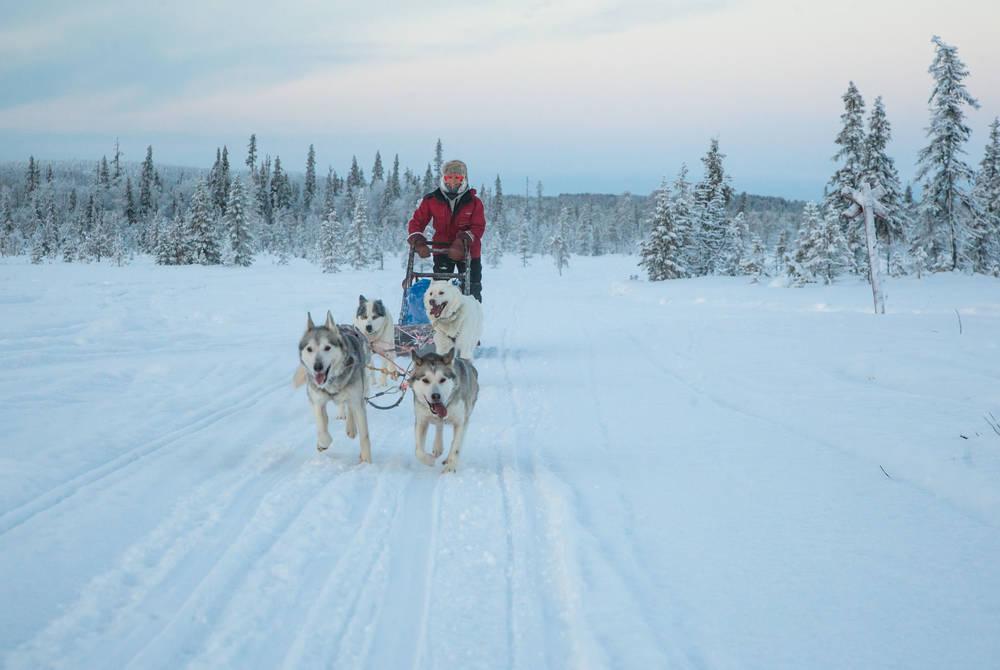 Husky sledding, Harriniva