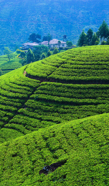 Tea plantations, Hatton