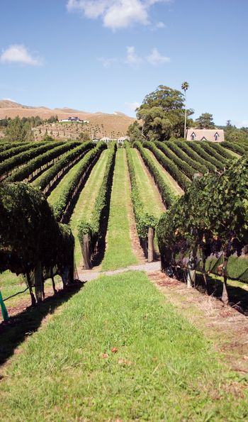 Hawke's Bay Vineyard