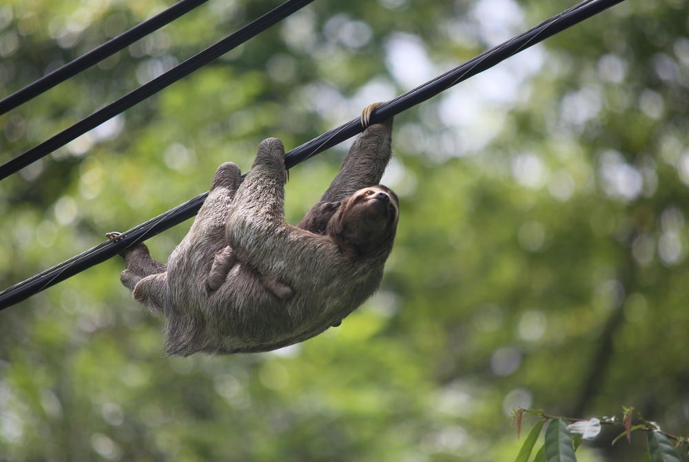 Sloth in Costa Rica by Heather Harris