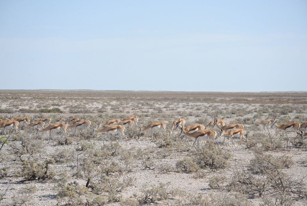 Herd of impala on the plains