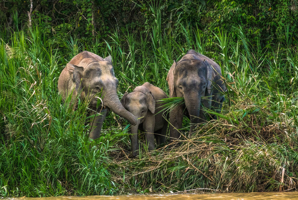 Herd of pygmy elephants