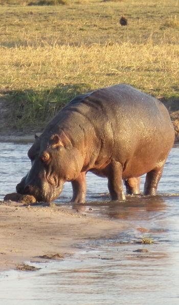 Hippo, Qorokwe