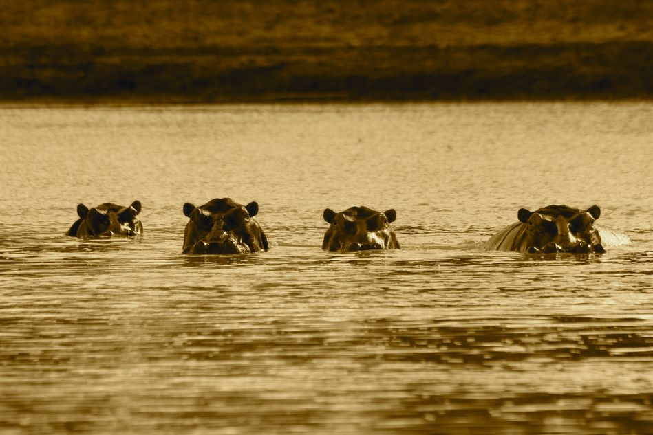 Hippos in Luangwa National Park in Zambia