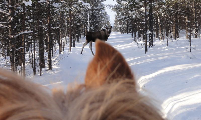 Horseback & moose safari (© Ofelas)
