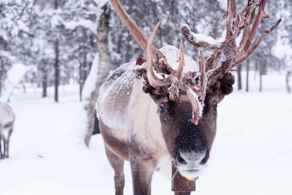 Reindeer, Hotel Tunturi