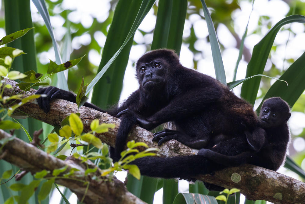 Howler monkey in the Nicoya Peninsula