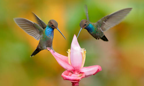 Hummingbirds, Costa Rica