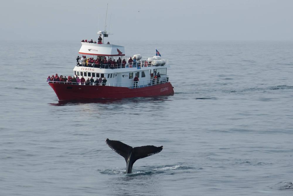 Classic Akureyri Whale Watching