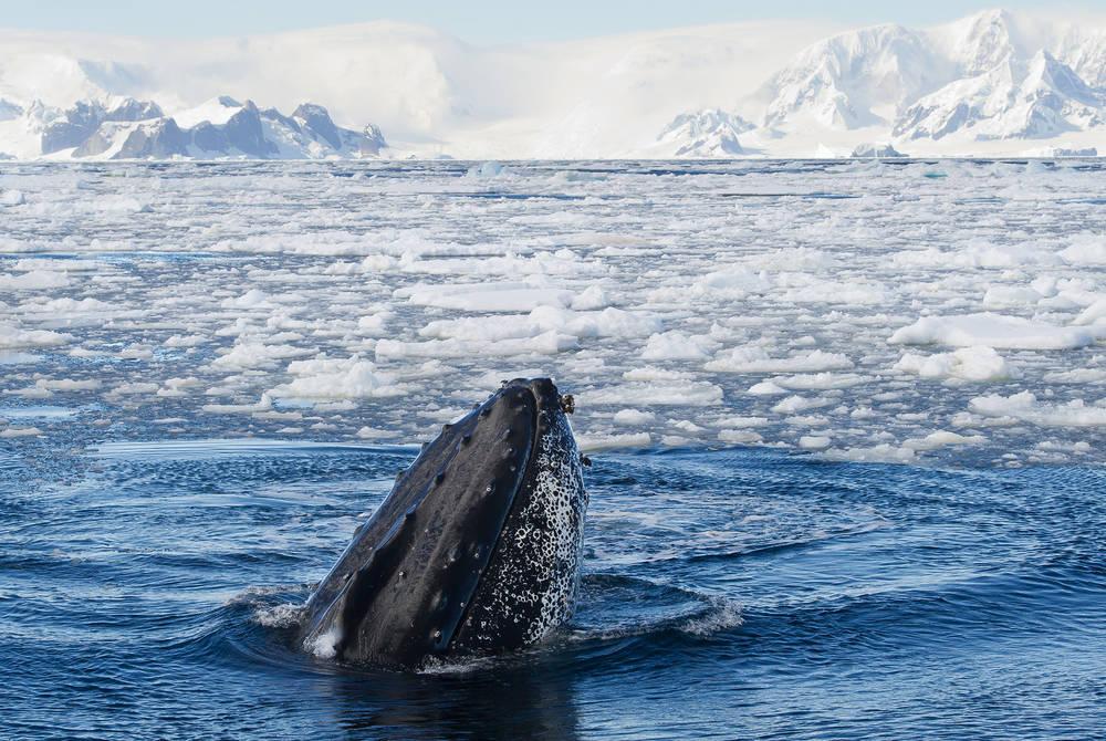 Humpback whale, Antarctic Peninsula