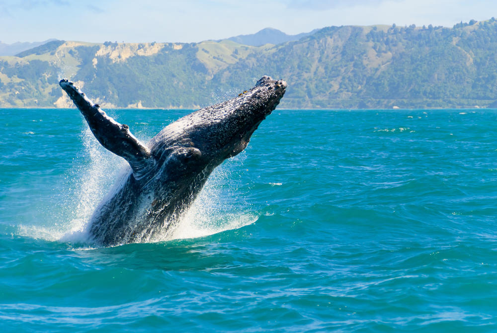 Humpback whale, Kaikoura, South Island