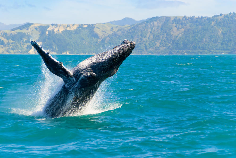 Humpback Whale breaching in water at Kaikoura