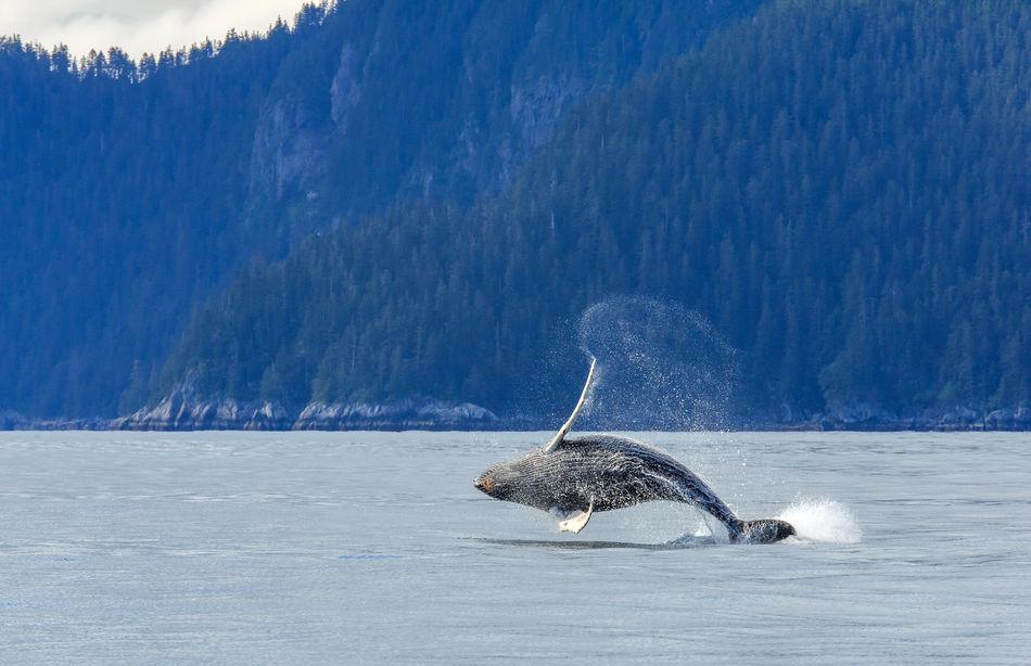humpback whale in Kenai Fjords National Park, Alaska, USA