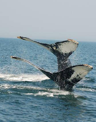 Humpback whales, Bay of Fundy, New Brunswick