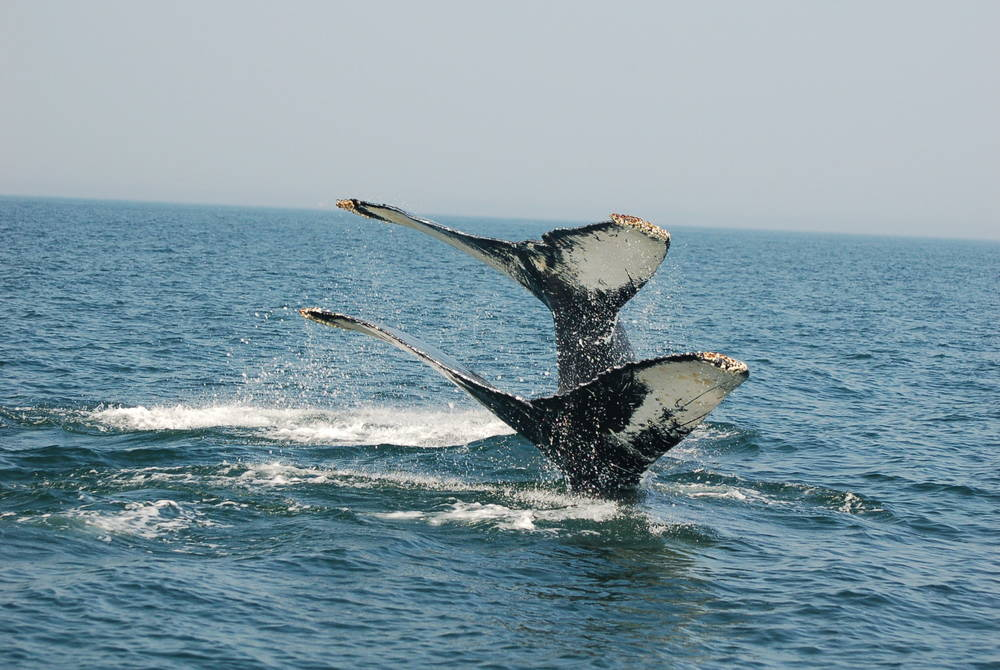 Humpback whales, Bay of Fundy, New Brunswick
