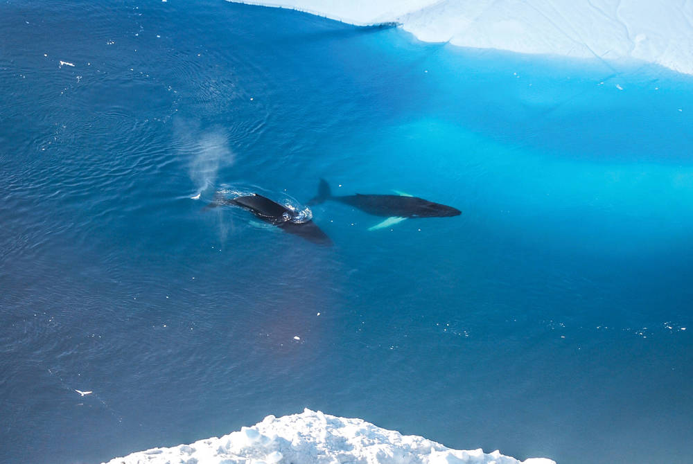 Humpback whales near Ilulissat, Greenland