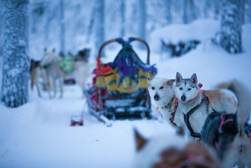 Huskies, Hotel Harriniva, Finnish Lapland