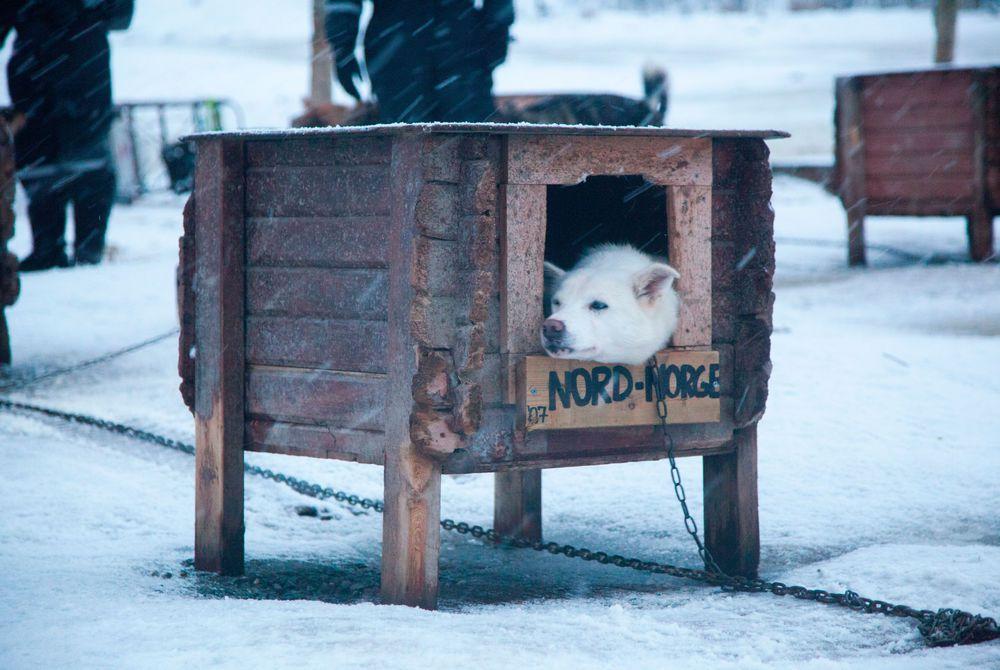 Huskies, Villmarkssenter, Tromso