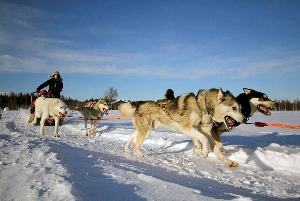 Huskies at Rovaniemi